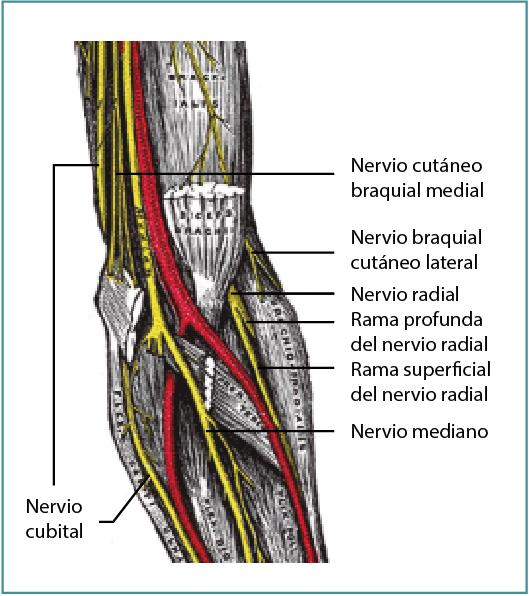 Anatomía del codo para el cirujano artroscopista | FONDOSCIENCE